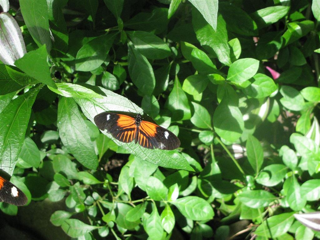 Best Western Hospitality Hotel & Suites - Butterflies are blooming in Frederick Meijer Gardens!