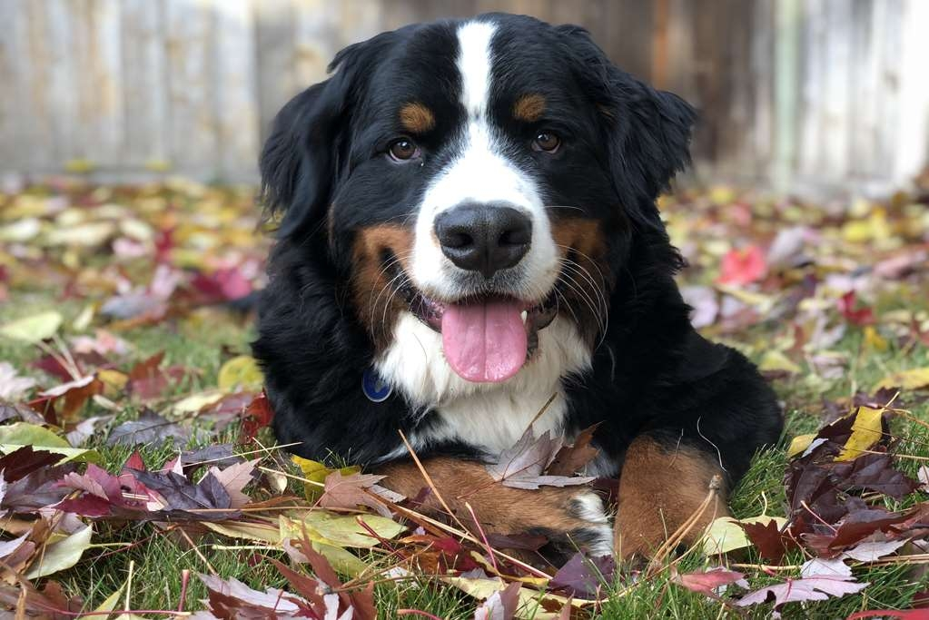 Best Western Plus Vintage Valley Inn - WE ARE PET FRIENDLY: Meet Sampson, he stays with us when his master comes over 9 months out of the year. We love our furry friends and meeting new furry friends.