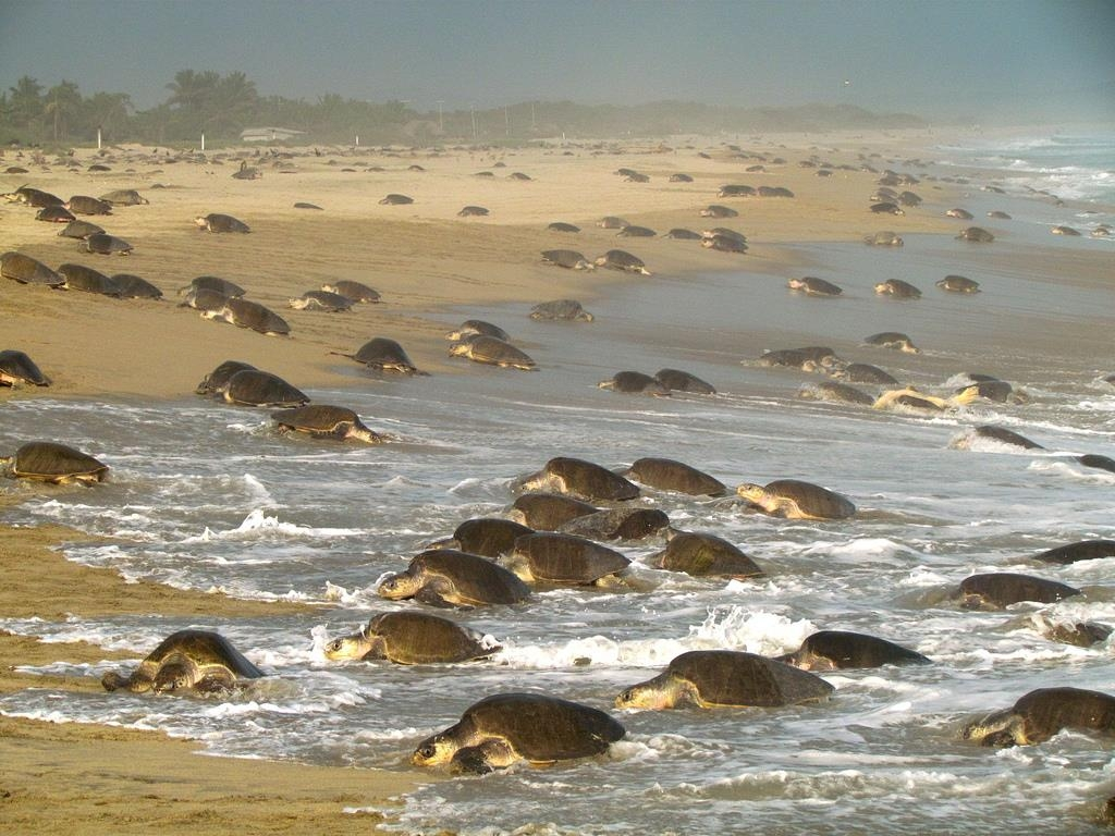 Best Western Posada Chahue - Sea turtles arrive between August and January on the beaches of Rio Seco, Barra de la Cruz & Escobilla, visit wild coast camps.