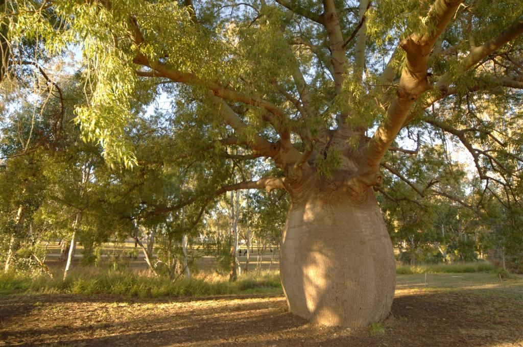 Best Western Bungil Creek Motel - Bottle Tree